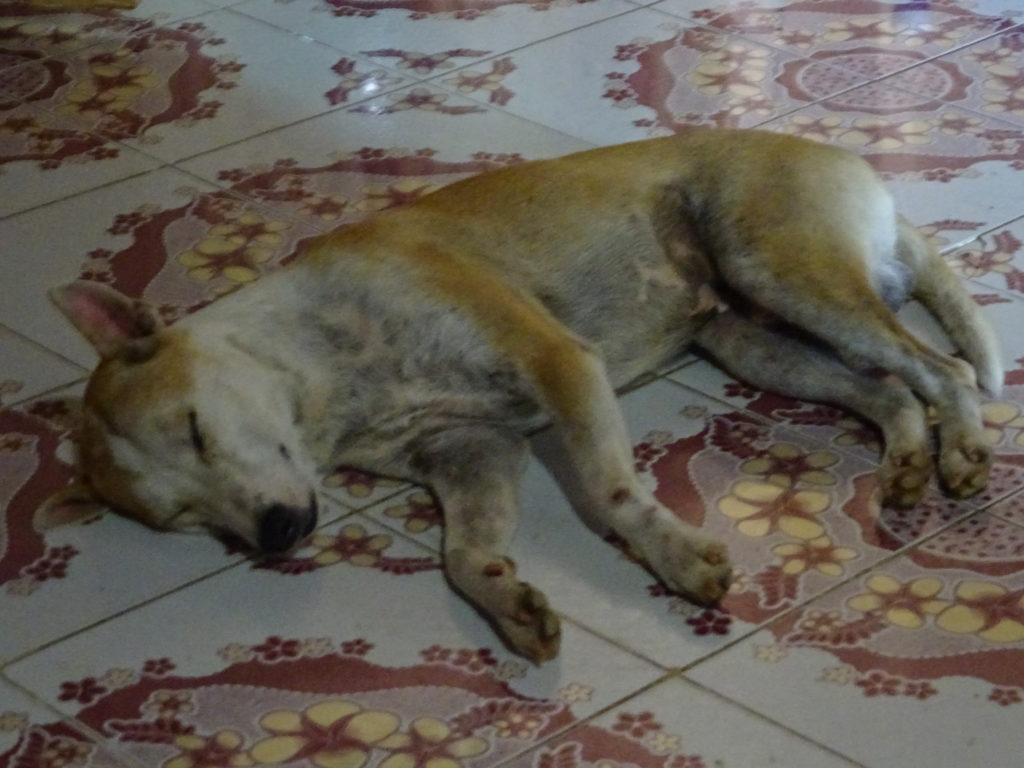 バンビエンのホステルの寝ている看板犬