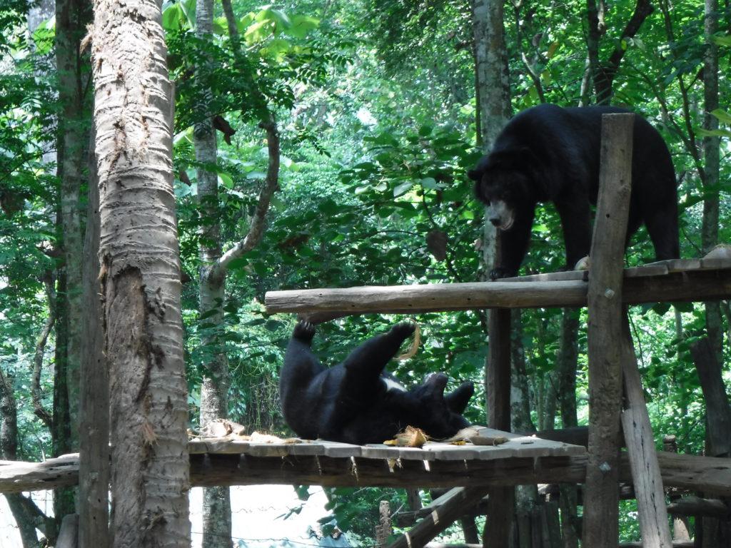 ラオス・ルアンパバーン「クアンシーの滝」のクマたち