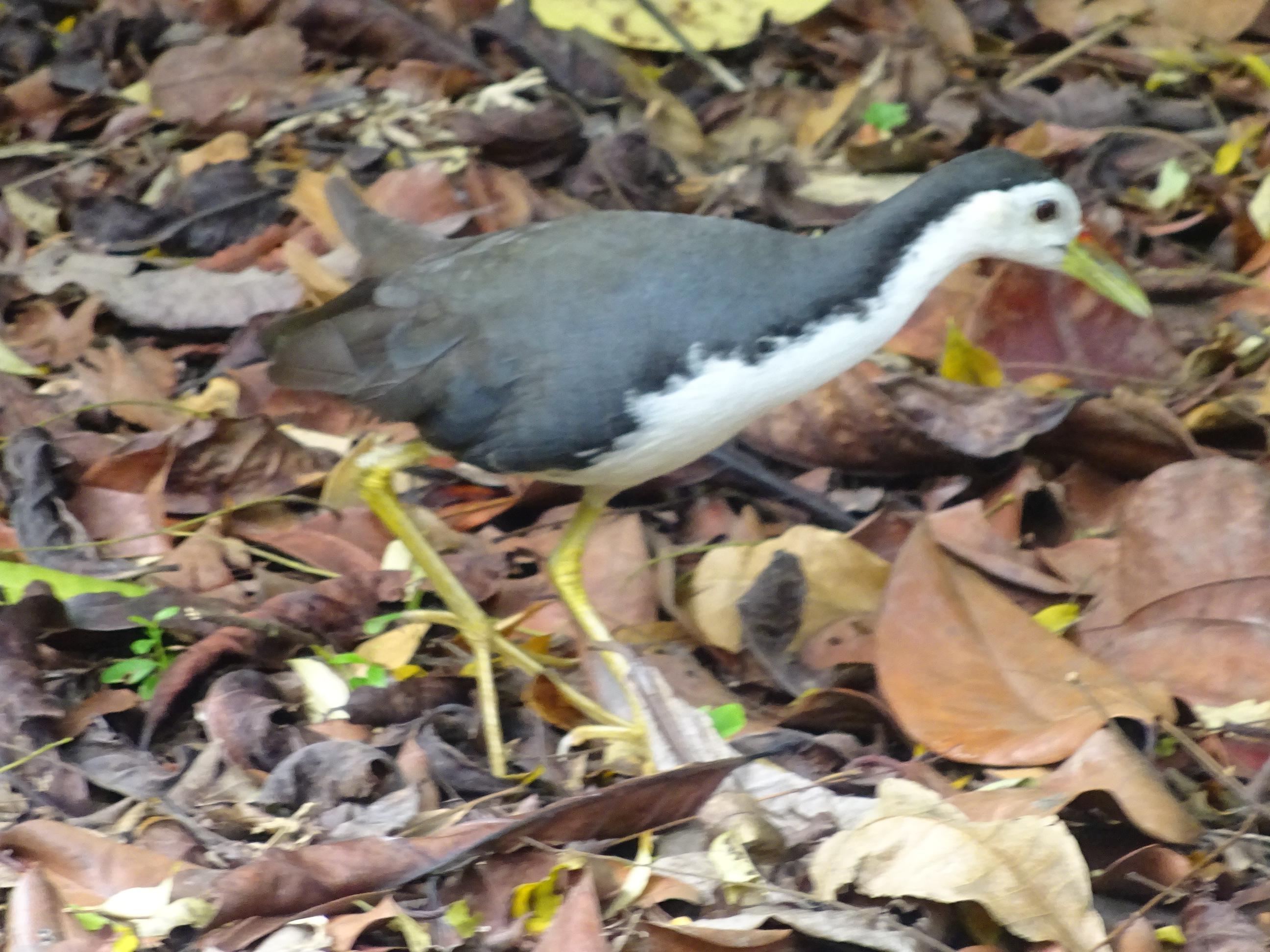 シンガポール植物園(ボタニック ガーデンズ)の鳥
