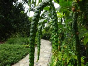 シンガポール植物園(ボタニック ガーデンズ)のレゲエの髪型っぽい植物