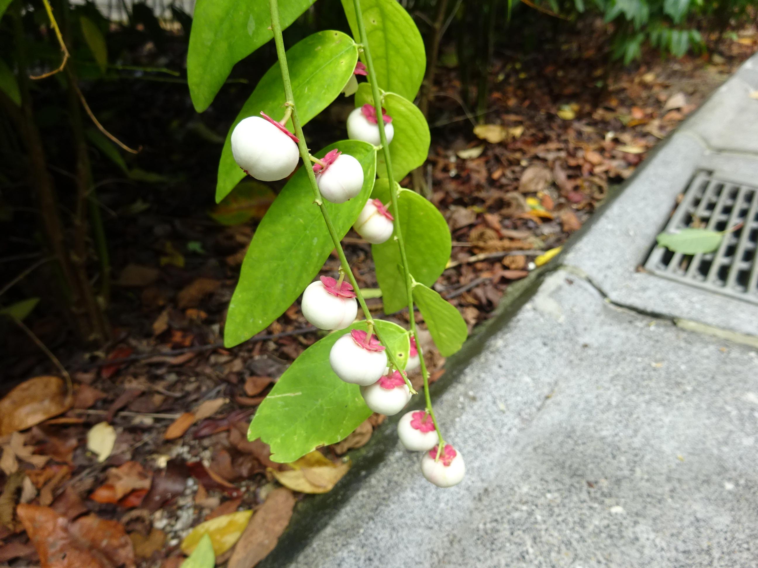 シンガポール植物園(ボタニック ガーデンズ)の鈴なりの白い実