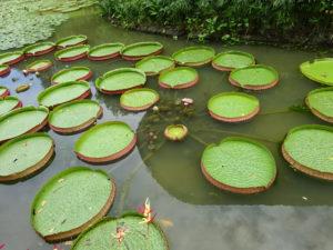 シンガポール植物園(ボタニック ガーデンズ)のスイレンの葉