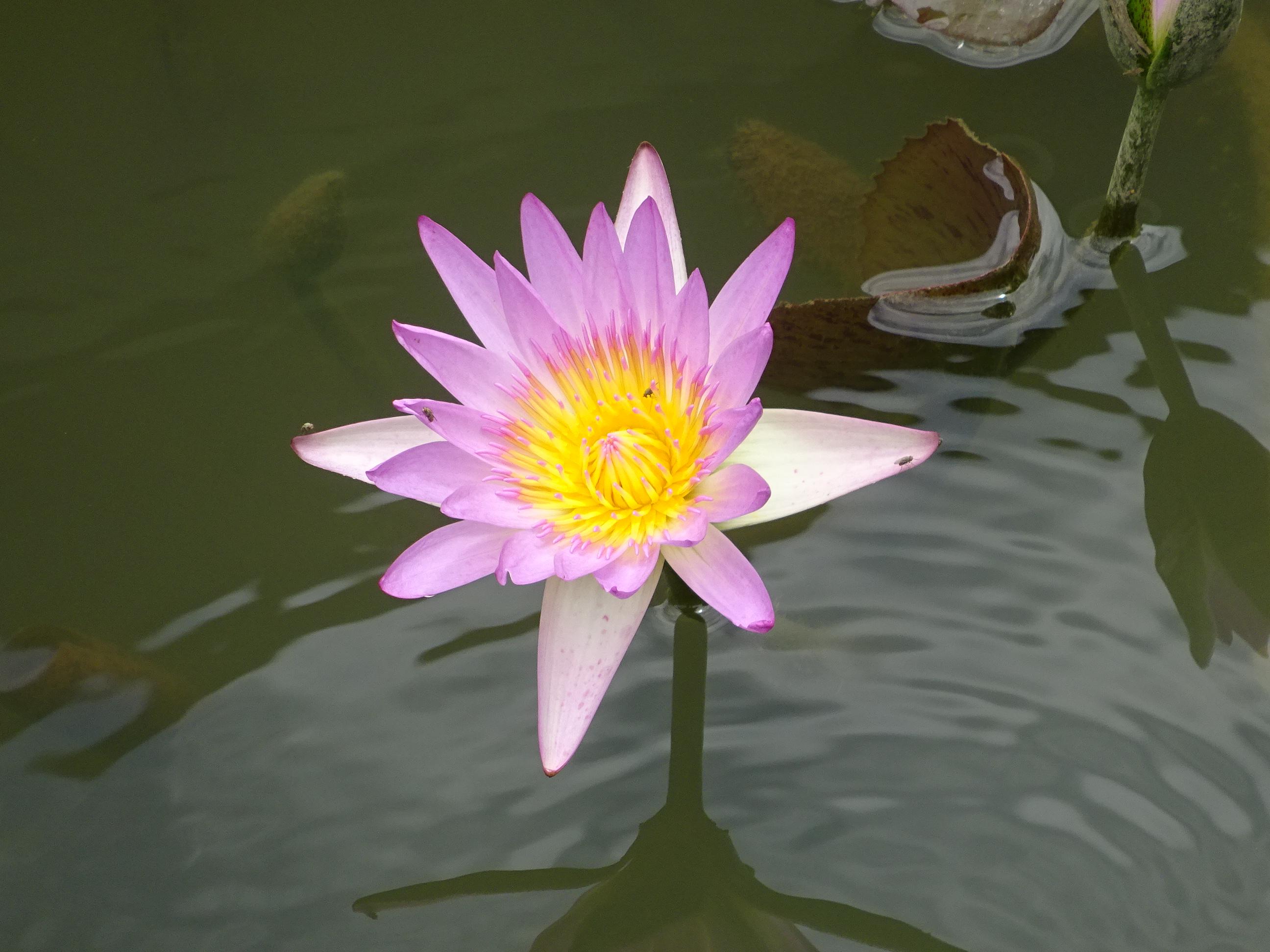 シンガポール植物園(ボタニック ガーデンズ)のスイレンのお花