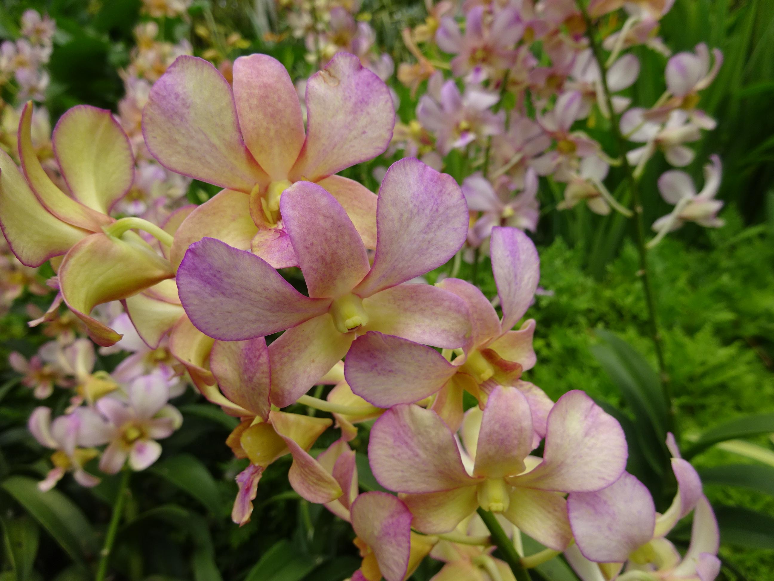 シンガポールの国立洋ラン園(ナショナル オーキッド ガーデン)の蝶々みたいな蘭