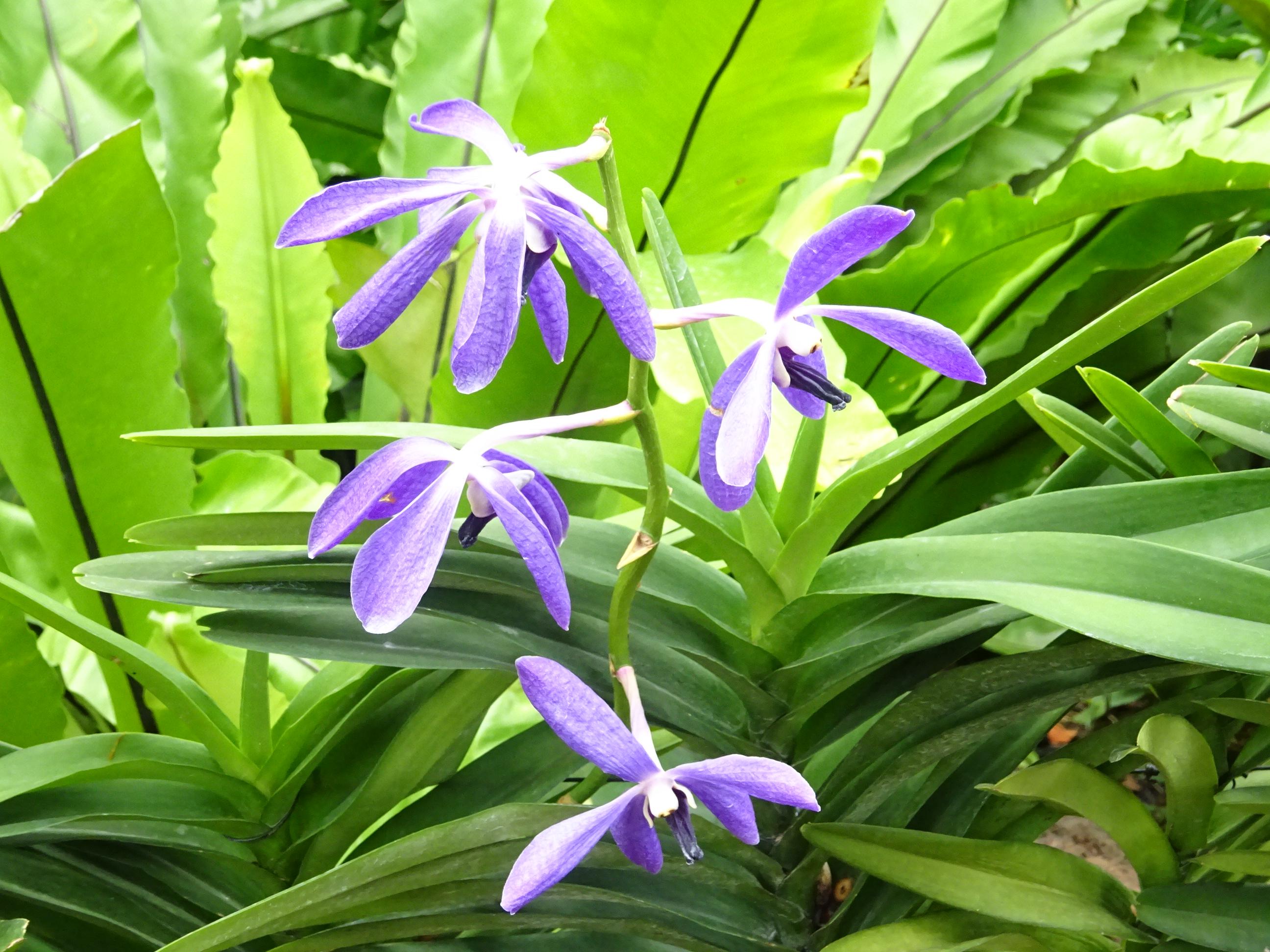 シンガポールの国立洋ラン園(ナショナル オーキッド ガーデン)の青い蘭