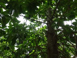 世界遺産のシンガポール植物園(ボタニック ガーデンズ)