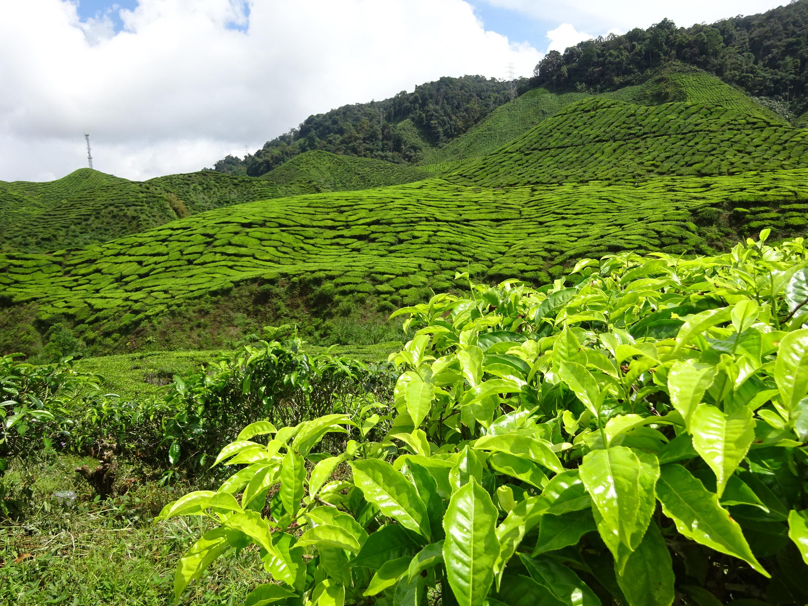 マレーシア・キャメロンハイランドの茶畑の美しい風景
