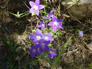 ジロカストラ城に行く途中の小道に生えるカワイイお花